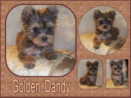 GOLDEN YORKIE