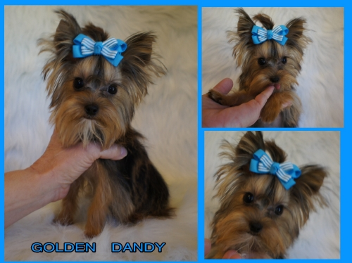 GOLDEN YORKIE PUPPIE FOR SALE.