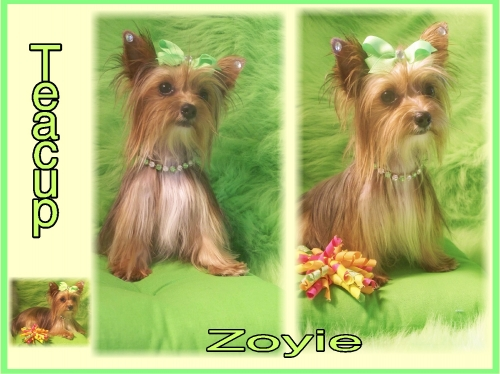 GOLDEN TEACUP PARTI CARRIER YORKIE FOR SALE.