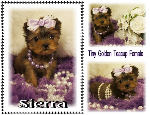 Golden Yorkie Teacup for sale.