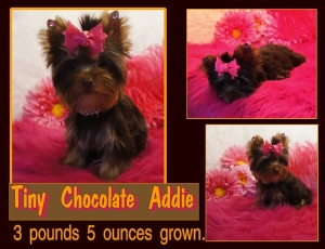 Chocolate Yorkie/Addie