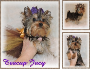 Golden Yorkie Jacy