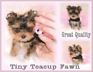 Golden Yorkie- Fawn