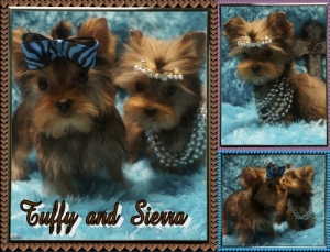 GOLDEN YORKIES- For Sale