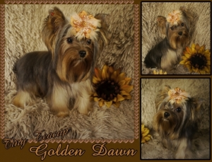 Golden Yorkshire Terrier
