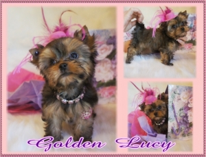 Golden Female Yorkie