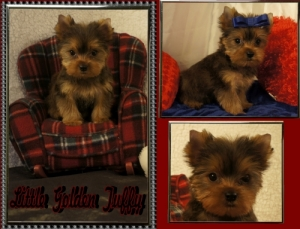 Golden Yorkie Male