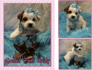 Golden Parti Yorkie For Sale.