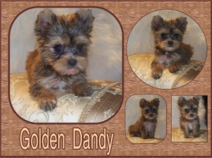 Golden Yorkie Puppie