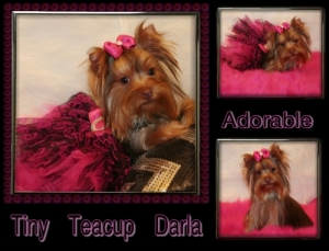 Chocolate Teacup Yorkie- Darla