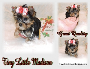 Madison-Tiny-Yorkie-Female