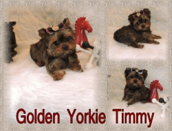 Golden Yorkies-for-sale