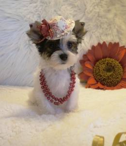 Parti Yorkie Puppies For Sale Lois Loveable Pups Puppy For Sale