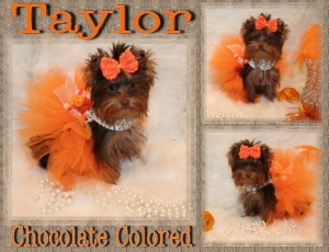 Chocolate Yorkie Taylor