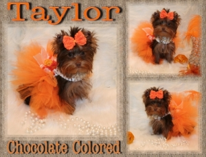 Chocolate Yorkie- For Sale