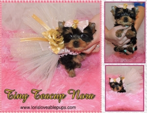 Nora-Tea-Cup-Yorkie-For-Adoption