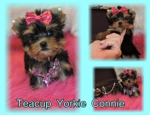 Teacup Yorkie Connie