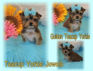 Teacup Yorkie Jewels