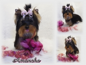 AKC Yorkshire Terrier Female.