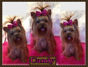Chocolate Yorkie Female-Candy