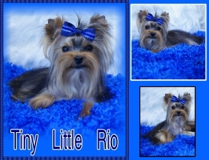 Golden Yorkshire Terrier Male that carries for Chocolate