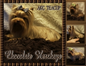 Chocolate Teacup Yorkie Male