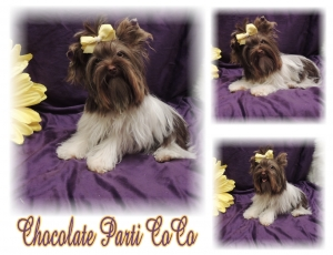 Chocolate Parti Yorkie Female
